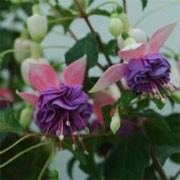 Fuchsia 'Sir Ian Botham' (28/01/2012)  added by Shoot)