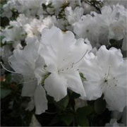 Rhododendron 'Niagra'