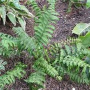 Dryopteris affinis 'Revolvens' (29/01/2012)  added by Shoot)