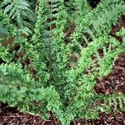 Dryopteris affinis 'Grandiceps Askew' (29/01/2012)  added by Shoot)