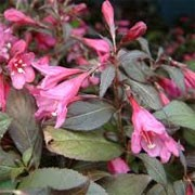 Weigela florida 'Minor Black' (29/01/2012)  added by Shoot)