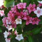 Weigela 'Carnaval' (29/01/2012)  added by Shoot)