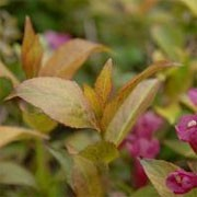 Weigela 'Cappuccino' (29/01/2012)  added by Shoot)