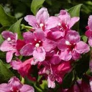 Weigela 'Evita' (29/01/2012)  added by Shoot)