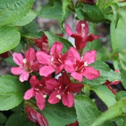 Weigela 'Nain Rouge' (29/01/2012)  added by Shoot)