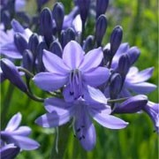 Agapanthus 'Ben Hope' (01/02/2012)  added by Shoot)