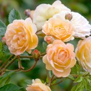 (05/08/2019) Rosa 'Ghislaine de Feligonde' added by Shoot)