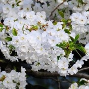 (18/02/2020) Prunus 'Shirotae' added by Shoot)