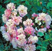 Rosa 'Flower Carpet Appleblossom'