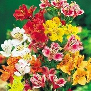 Alstroemeria Sublima Collection (10/04/2012)  added by Shoot)
