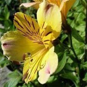 Alstroemeria 'Yellow Friendship' (11/02/2012)  added by Shoot)