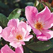 Rosa 'Blushing Knock Out' (08/04/2012)  added by Shoot)