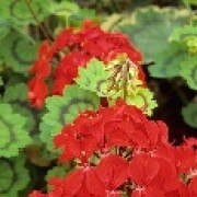 Pelargonium 'Golden Harry Hieover' (08/04/2012)  added by Shoot)
