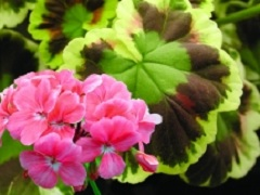 Pelargonium 'Mr. Henry Cox'