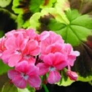 Pelargonium 'Mr. Henry Cox' (08/04/2012)  added by Shoot)