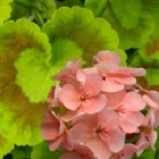 Pelargonium 'Mrs. Quilter' (08/04/2012)  added by Shoot)