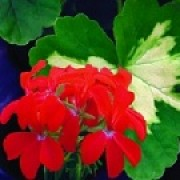 Pelargonium 'Happy Thought' (07/04/2012)  added by Shoot)