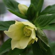 Helleborus x hybridus Harvington yellow (28/02/2012)  added by Shoot)