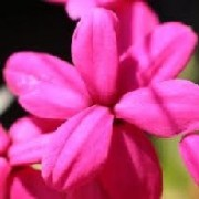 Rhodohypoxis 'Louise' (08/04/2012)  added by Shoot)