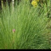 Miscanthus sinensis 'Gnome' (09/04/2012)  added by Shoot)