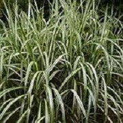 Miscanthus sinensis 'Cabaret' (09/04/2012)  added by Shoot)