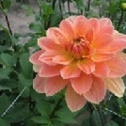 Dahlia 'Apricot Desire' (09/04/2012)  added by Shoot)