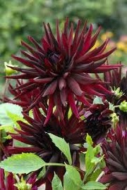 Dahlia 'Black Narcissus'
