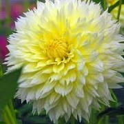 Dahlia 'Canary Fubuki' (09/04/2012)  added by Shoot)