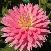 Dahlia 'Gay Princess' (09/04/2012)  added by Shoot)