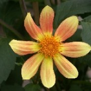 Dahlia 'Ian Hislop' (09/04/2012)  added by Shoot)