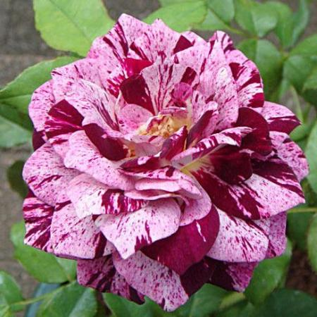 Rosa 'Purple Tiger'