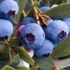 Vaccinium 'Sunshine Blue'