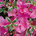 Rhododendron 'Silver Queen'