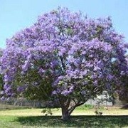 Jacaranda mimosifolia (24/04/2012)  added by Shoot)
