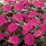 Impatiens 'San Remo Magenta' (Sun Harmony Series) (24/04/2012)  added by Shoot)