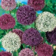 Allium Big Impact Mix