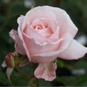 Rosa 'New Zealand' (26/04/2012)  added by Shoot)