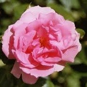 Rosa 'Bantry Bay' (26/04/2012)  added by Shoot)