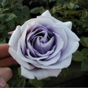 Rosa 'Climbing Blue Moon' (26/04/2012)  added by Shoot)
