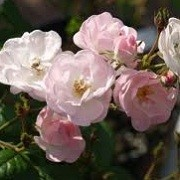 Rosa 'Perennial Blush' (02/05/2012)  added by Shoot)