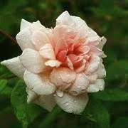Rosa 'Bloomfield Abundance' (07/05/2012)  added by Shoot)