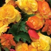 Begonia 'Apricot Fragrant Falls' (07/05/2012)  added by Shoot)