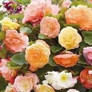 Begonia Fragrant Fountains Mix (07/05/2012)  added by Shoot)