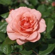 Rosa 'Amelia' (Renaissance Series') (09/05/2012)  added by Shoot)