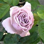 Rosa 'Eleanor' (Renaissance Series')