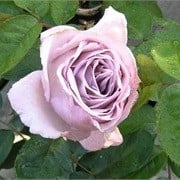 Rosa 'Eleanor' (Renaissance Series') (09/05/2012)  added by Shoot)