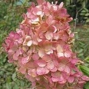Hydrangea paniculata 'Ruby' (15/05/2012)  added by Shoot)