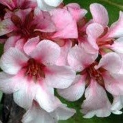 Bergenia 'Apple Blossom' (15/05/2012)  added by Shoot)
