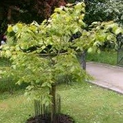 Tilia henryana (17/05/2012)  added by Shoot)