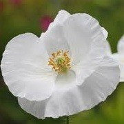 Papaver rhoeas 'Bridal Silk' (23/05/2012)  added by Shoot)